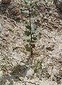 Plantación de encinas - panoramio.jpg