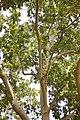 Platanus × acerifolia - Platan (2)adfg.jpg