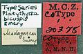 Platythyrea bicuspis mcztype20378 label 1.jpg