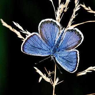 Silver-studded blue - Image: Plebeius.argus.male. 2718