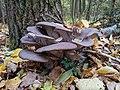 Pleurotus ostreatus populus.jpg