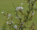 Plumbago auriculata (Blue-flowered Plumbago) in Hyderabad, AP W IMG 2438.jpg