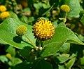Podanthus ovatifolius 4.jpg