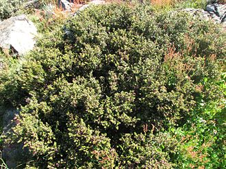 Podocarpus lawrencei - Podocarpus lawrencei, Mt Buller