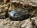 Poecilocampa populi (ova) - December moth (eggs) - Коконопряд тополёвый (яйца) (31642212787).jpg