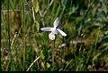 Pogonia ophioglossoides f albiflora 1-eheep (5098055024).jpg