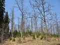Pokaiņu mežs - panoramio - aldonis.jpg