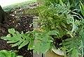 Polypodium aureum Plant 2800px.jpg