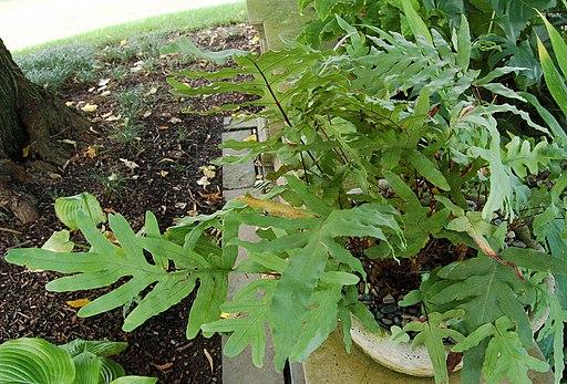 Polypodium aureum Plant 2800px