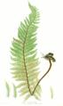Polystichum aculeatum Moore10.png