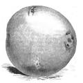 Pomme de terre modèle Vilmorin-Andrieux 1883.png