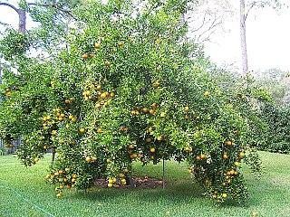 Ponkan Citrus fruit and plant