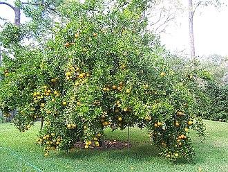 Ponkan - Ponkan tree, Florida