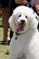 Poodle (6719105223).jpg