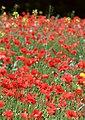 Poppies, Kirkthorpe - geograph.org.uk - 1393660.jpg