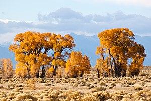 English: Narrowleaf cottownwoods (Populus angu...