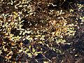 Potamogeton bicupulatus, NH, USA.jpg