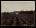 Potato field at Laidley, Queensland (7729967126).jpg