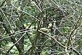 Pouillot véloce Phylloscopus collybita.jpg