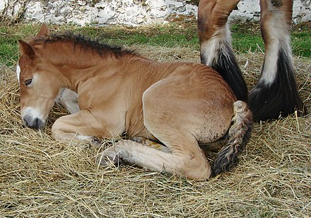 Foals need to lie down more often and rest longer than adult horses. Poulain de race ardennaise 1.jpg