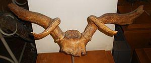 Praemegaceros - Antlers of P. verticornis