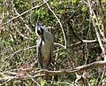 Preening Yellow-Crowned Night Heron.JPG