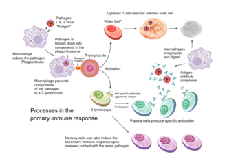 diagram showing the processes of activation, cell destruction and digestion, antibody production and proliferation, and response memory