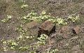 Primula - Çuhaçiçeği 05.jpg