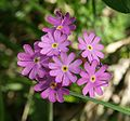 Primula farinosa flowers 100704.jpg
