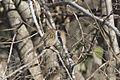 Prinia gracilis - Graceful prinia, Adana 2016-12-18 03-1.jpg