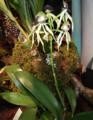 Prosthechea cochleata -(L.)W.E. Higgins- (Antilles-sud du Mexique-Amérique centrale-nord de l'Amérique du sud)12.png