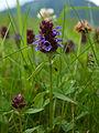 Prunella vulgaris (5983774032).jpg