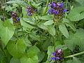 Prunella vulgaris bloemen.jpg