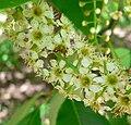 Prunus brachybotrya 2.jpg