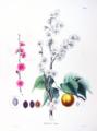 Prunus mume SZ11.png