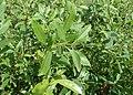Prunus tenella kz02.jpg