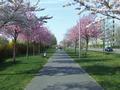 Prunus trees in flower at Pappelallee.png