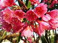 Prunusceret2.jpg