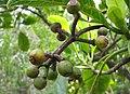 Psychotria hawaiiensis var. hillebrandii (5516730690).jpg
