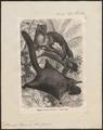 Pteromys petaurista - - Print - Iconographia Zoologica - Special Collections University of Amsterdam - UBA01 IZ20400087.tif