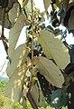 Pterospermum diversifolium 03.JPG