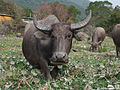 Pui O water buffaloes 2.jpg