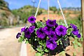 Purple Flowers in the basket.jpg