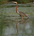 Purple Heron (Ardea purpurea) in Hodal W IMG 6578.jpg