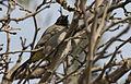 Pycnonotus xanthopygos - White-spectacled Bulbul - Arapbülbülü 02.jpg