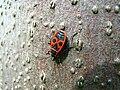 Pyrrhocoris apterus 025a.jpg