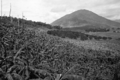 Queensland State Archives 1330 Banana and citrus orchard Freshwater Cairns District c 1935.png