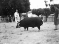 Queensland State Archives 1690 Champion Berkshire boar Royal National Association Exhibition 1951.png