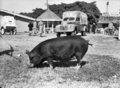 Queensland State Archives 1694 Champion Berkshire sow 1951.png