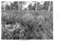 Queensland State Archives 4498 Groundsel infestation c 1950.png
